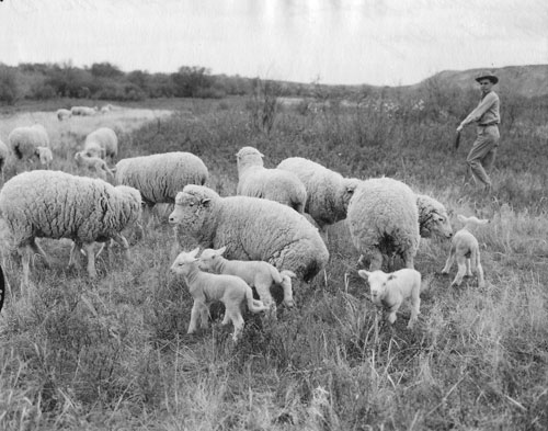 sheep farming and industry